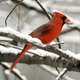 red_cardinal_in_snow.jpg